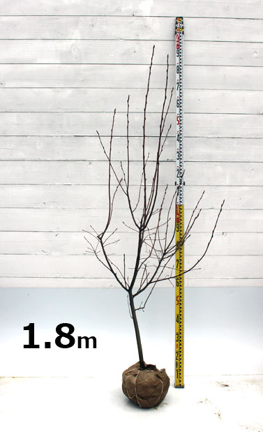 ジューンベリー ラマルキー 1.8m