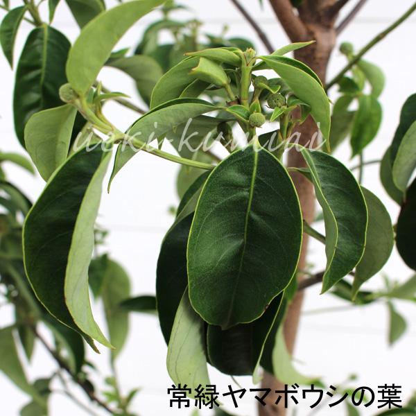常緑ヤマボウシ ホンコンエンシス 単木 株立ち 花 苗 月光  葉 花芽