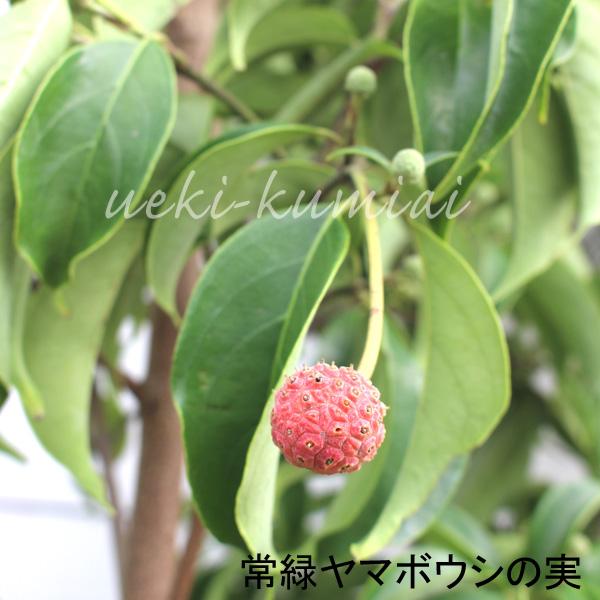 常緑ヤマボウシ ホンコンエンシス 単木 株立ち 花 苗 月光  実