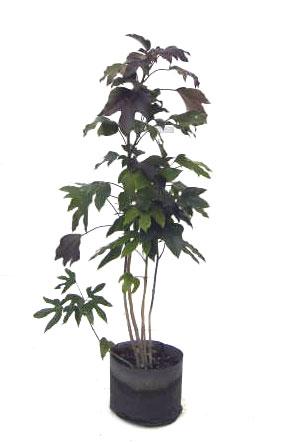 カクレミノ 添え木