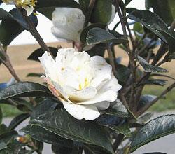 寒椿 カンツバキ かんつばき 白 花の様子