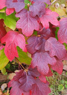 カシワバアジサイ 紅葉の様子