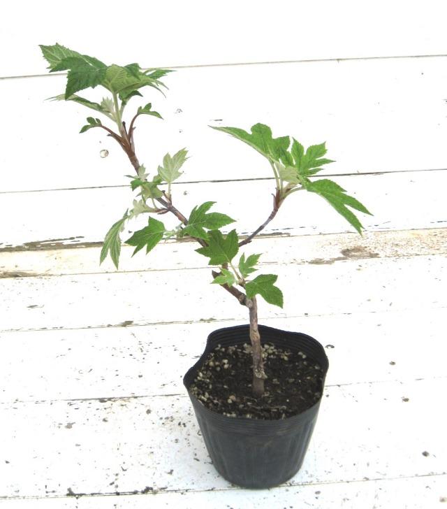 カシワバアジサイ 矮性 一重咲き ピューウィー