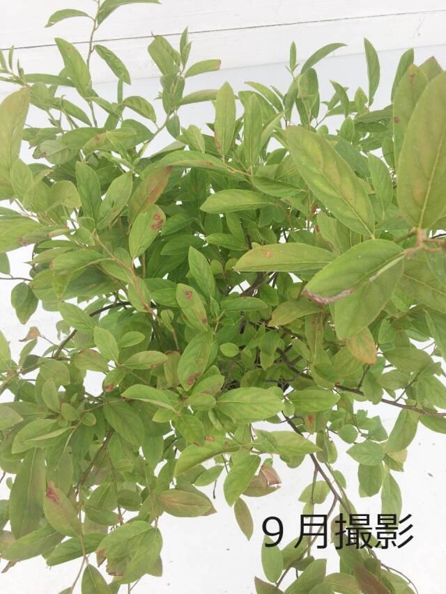 コバノズイナ 夏の葉