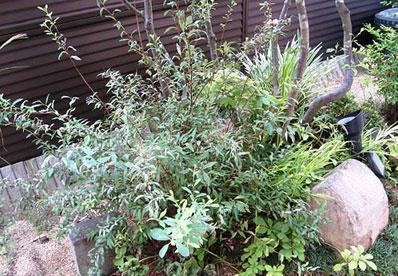 小手毬 コデマリ こでまり 植栽例