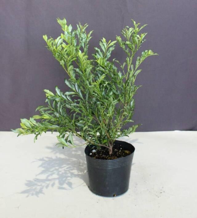 紺斑ひさかき (コンフヒサカキ) 斑入り葉