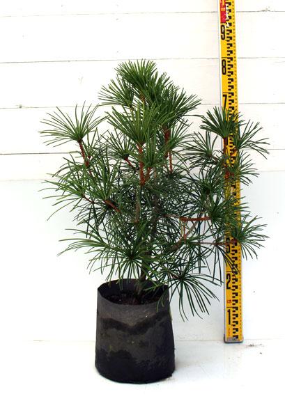 コウヤマキ 60cm