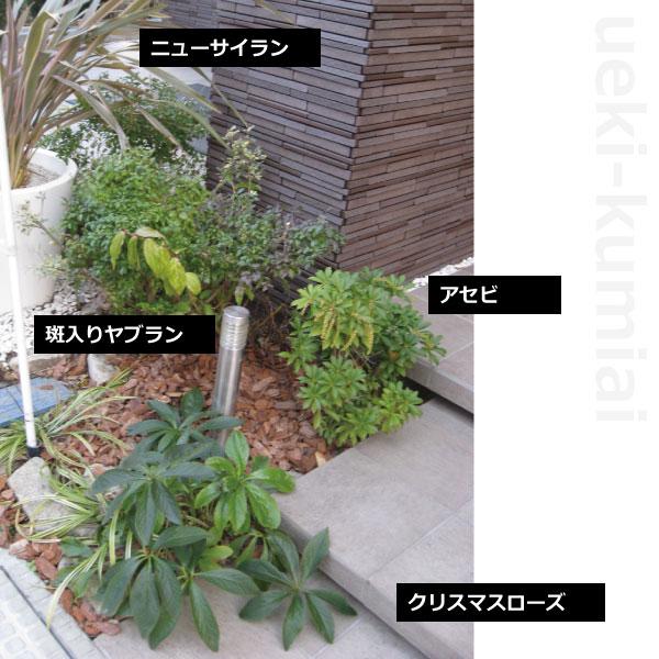 植栽例 アセビ クリスマスローズ フイリヤブラン ニューサイラン