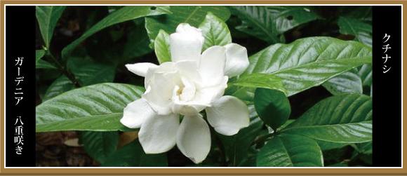 クチナシ くちなし ガーデニア 八重咲き