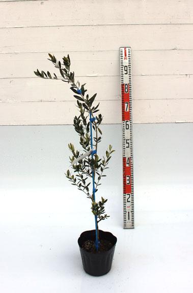 オリーブ ルッカ 80cm
