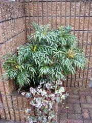 柊南天 マホニアコンフーサ 植栽例