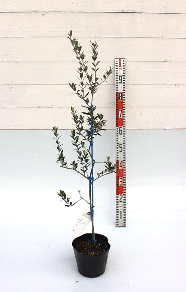 オリーブ マンザニロ 80cm