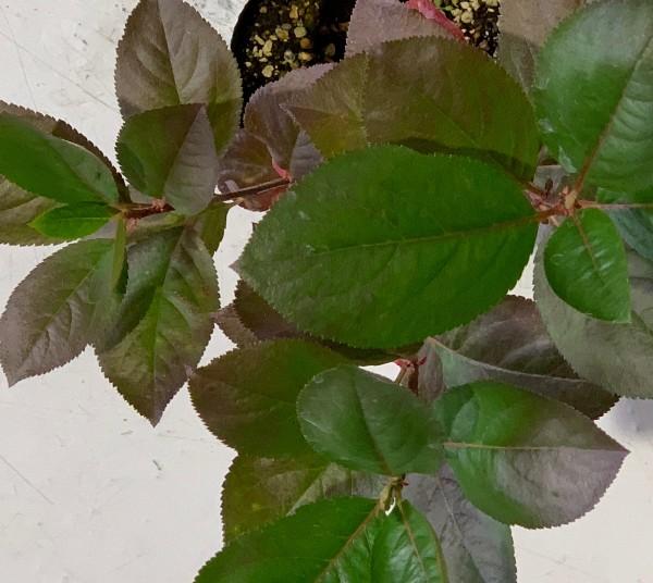 アロニア メラノカルパ 40cm