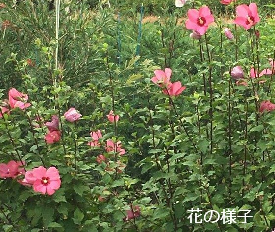 木槿 ムクゲ ピンク 花