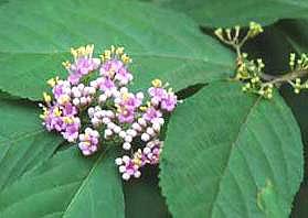 ムラサキシキブ むらさきしきぶ 花の様子