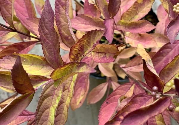 ムラサキシキブ 紅葉