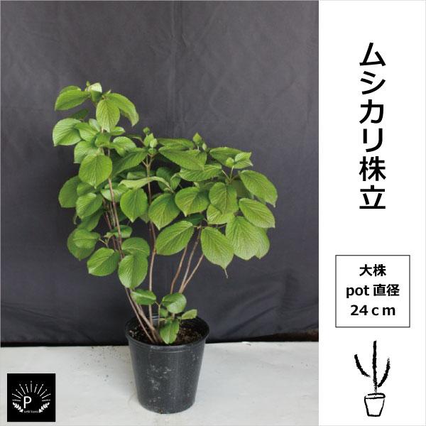 P100 ムシカリ株立