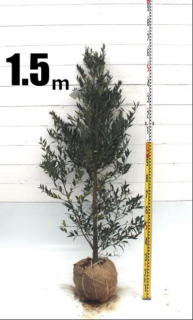 ナギ1.5m