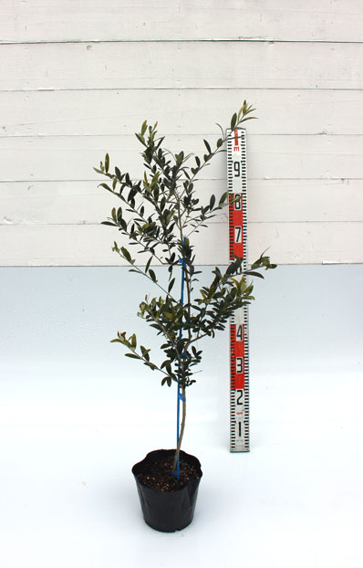 オリーブ ネバディロ・ブロンコ 80cm
