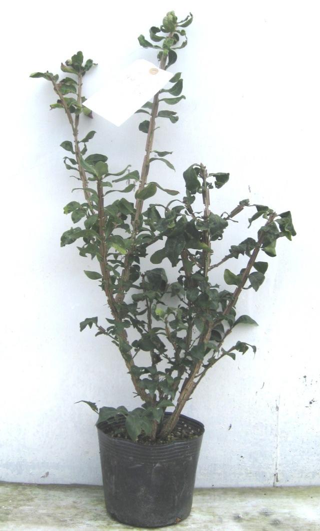 ニシキギ 世界三大紅葉樹 紅葉