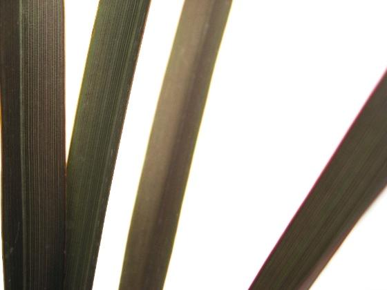 ニューサイラン 銅葉