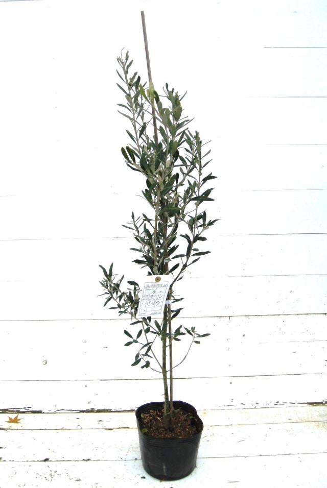 オリーブ 苗木