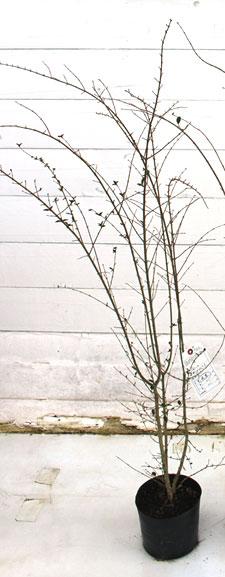 プリペット 落葉状態