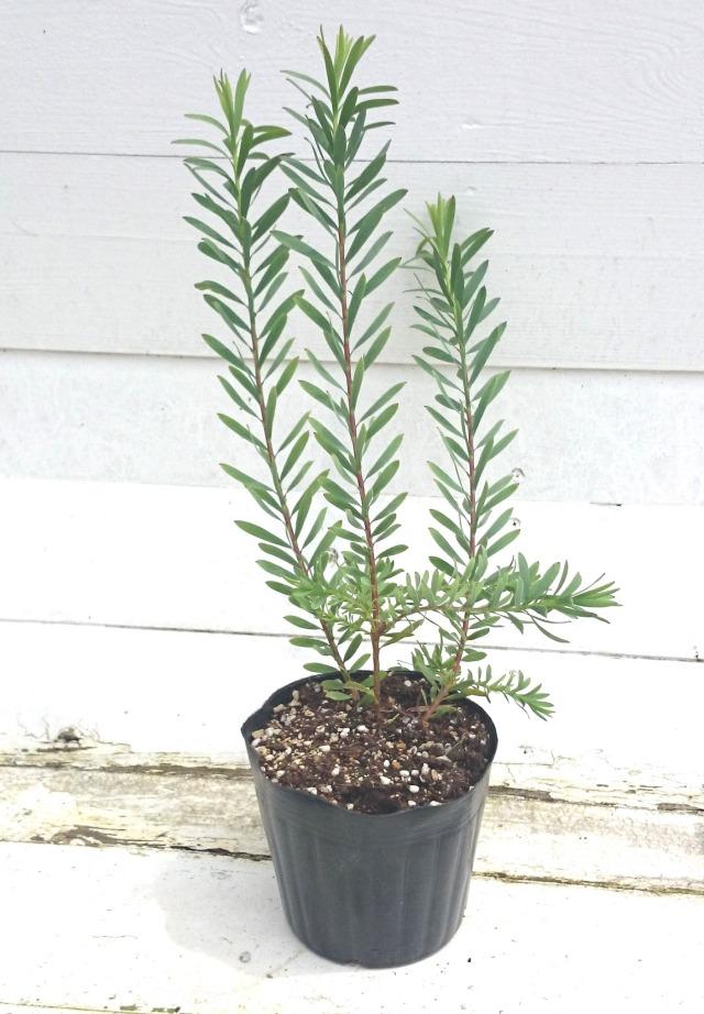 リュウカデンドロン レッドデビル Leucadendron salignum Red Devil