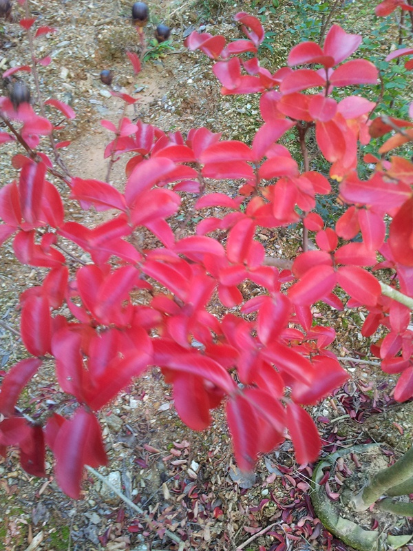 サルスベリ 紅葉