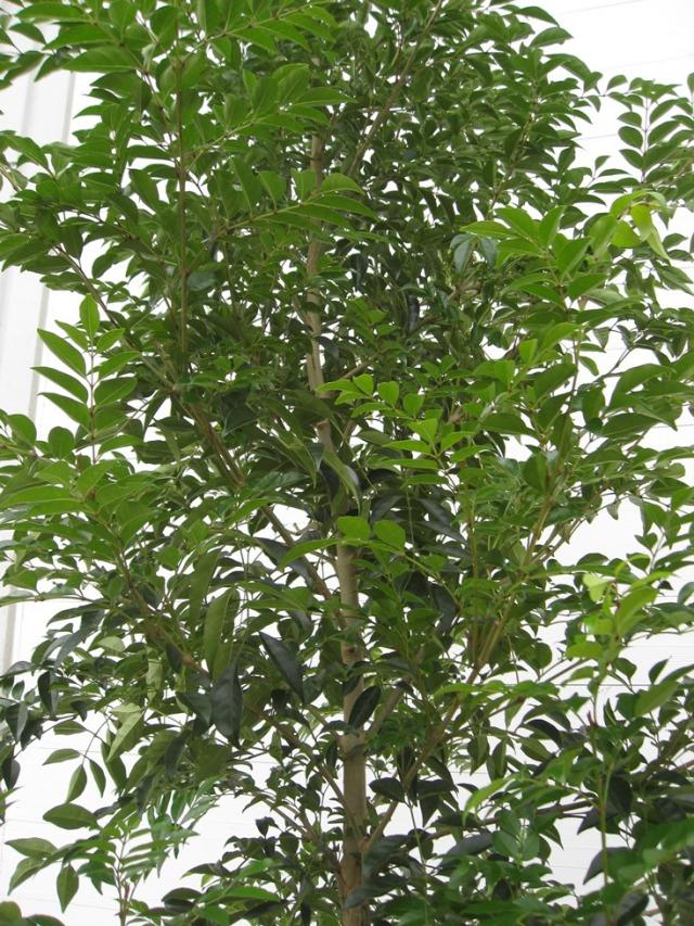 シマトネリコ 単木 人気のシンボルツリー