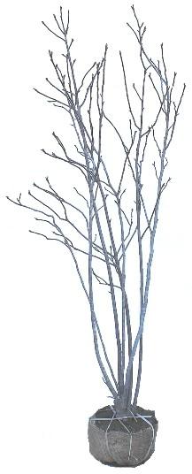 シモクレン 1.5m