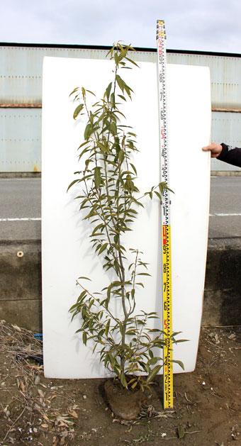 シラカシ 1.5m