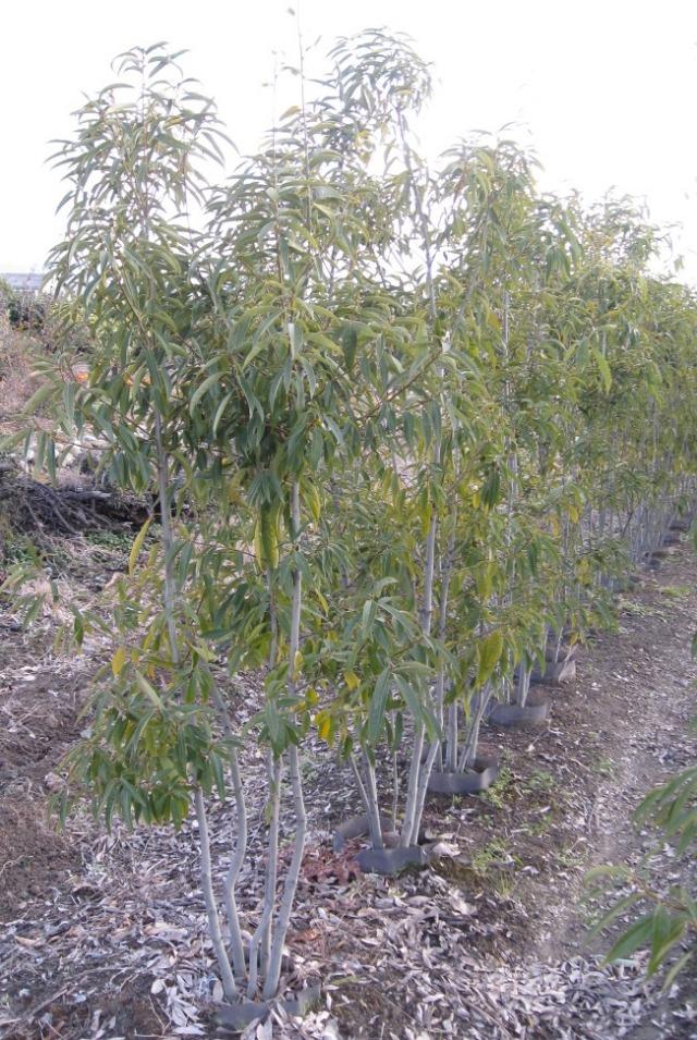 シラカシ 株立ち 人気のシンボルツリー 常緑