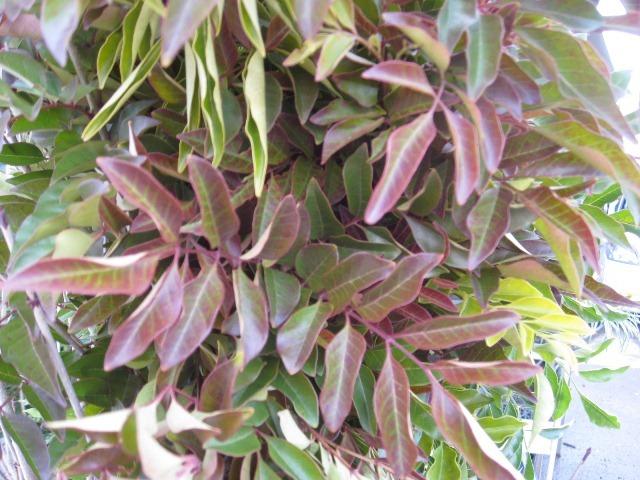 シマトネリコ 冬の葉先の様子