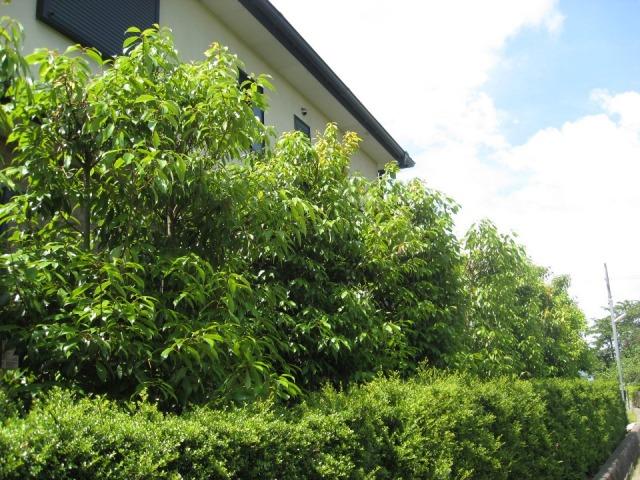 シラカシ 植栽例 生垣