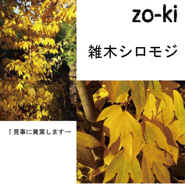 雑木 シロモジ