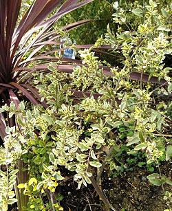 シルバープリペット 植栽例