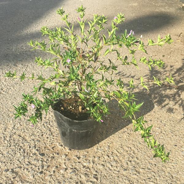シチョウゲ 紫丁花 販売 花 苗