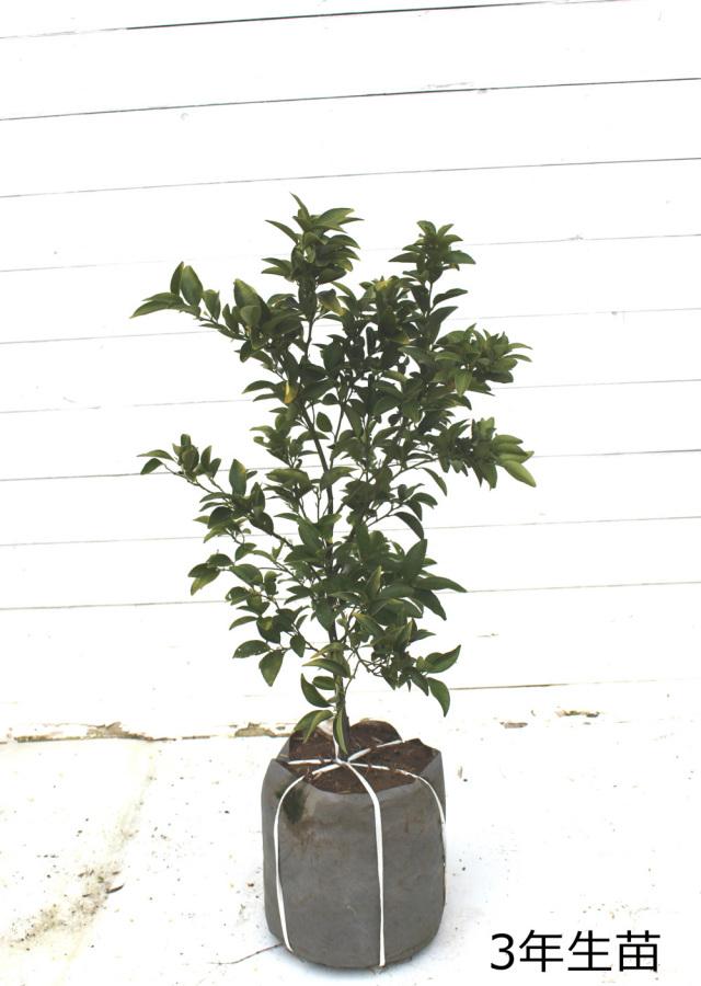 橘 タチバナ 苗木 ヤマトタチバナ