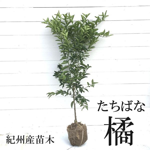 橘 タチバナ 大和 ヤマト 苗 販売