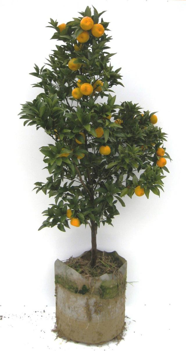 タチバナ ヤマトタチバナ 橘 苗