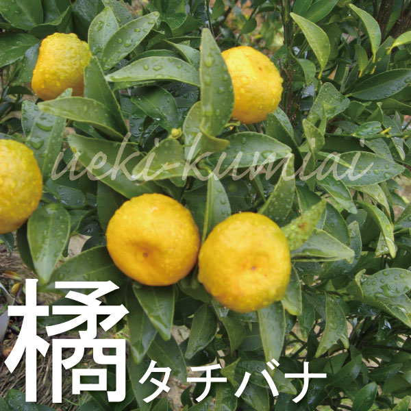 橘 タチバナ 苗 苗木