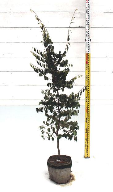 トキワマンサク 青葉白花 1m