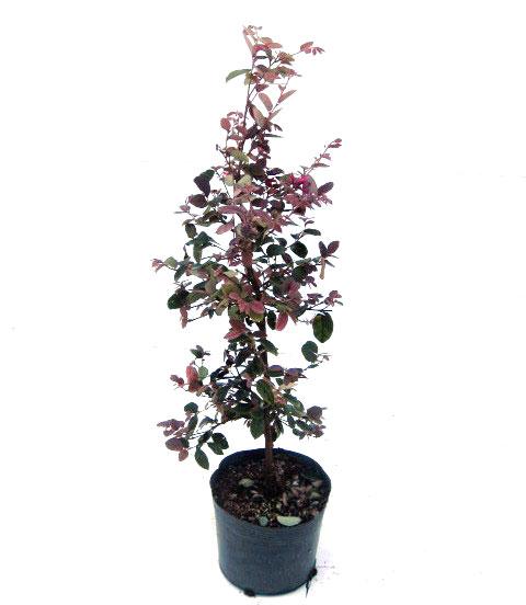 トキワマンサク赤葉赤花 40cm