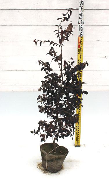 トキワマンサク 赤葉赤花 1m