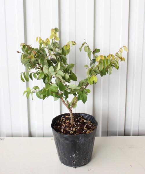 トキワマンサク 青葉白花  30cm 15.0cmポット入り