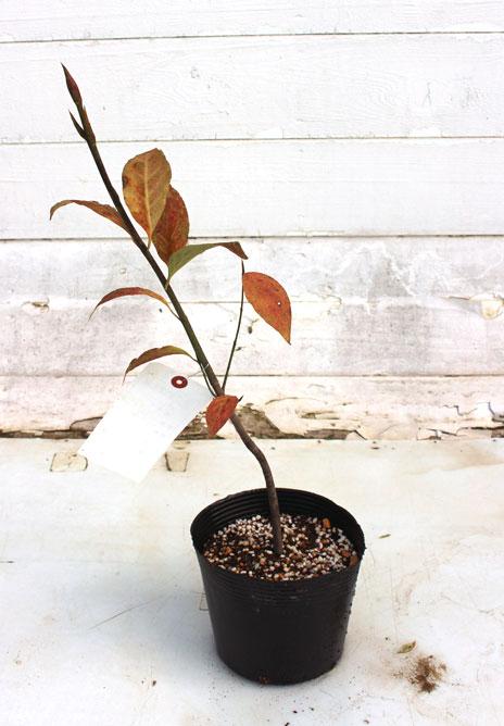 ツリバナ 苗木