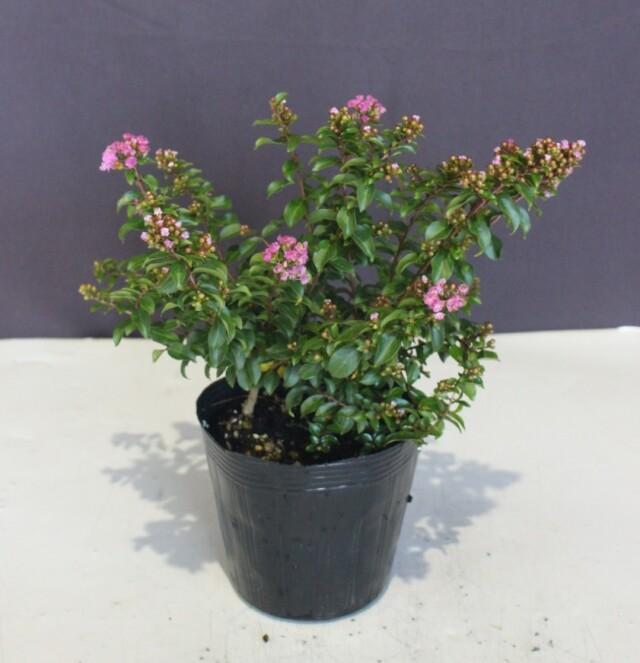 ワイ性 サルスベリ ポコモック 濃いピンク花 (矮性百日紅)