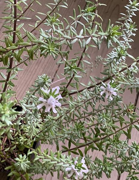 ウエストリンギア 白花