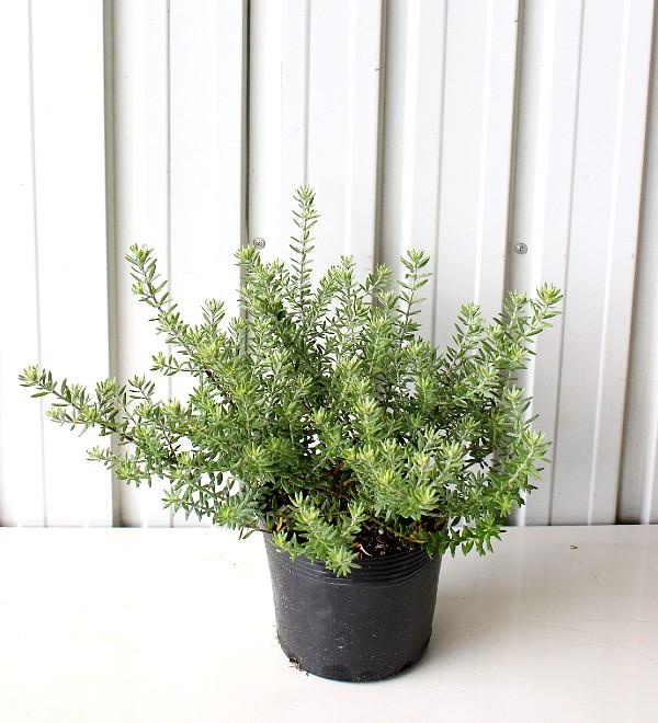 ウエストリンギア 白花 15cmポット